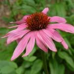 Echinacea-purpurea-150x150