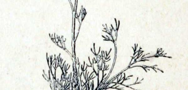 Artemisia mutellina