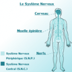 220px-Systeme_Nerveux_Central_&_Peripherique_du_corps_Humain.