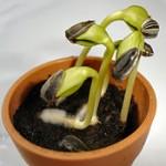 200px-Sunflower_seedlings