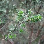 435px-Thymus_vulgaris4