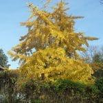 gingkp-biloba-en-automne