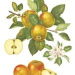 Malus-communis-la-pomme