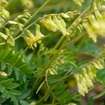 Astragalus membranaceus fleurs