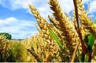 Les OGM tolérants aux herbicides sont déjà obsolètes