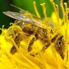 Allergies : pensez à la propolis