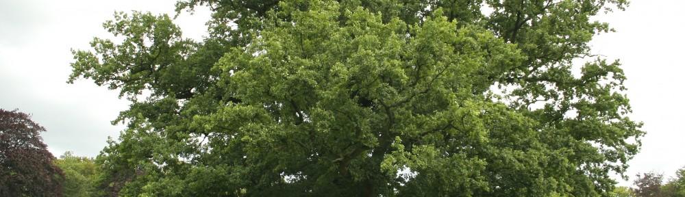 Quercus pedunculata