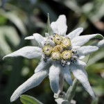 Leontopodium alpinum_1