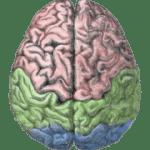 180px-Cerebral_lobes