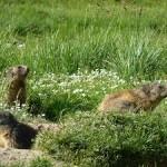 Marmottes Acteur-Nature