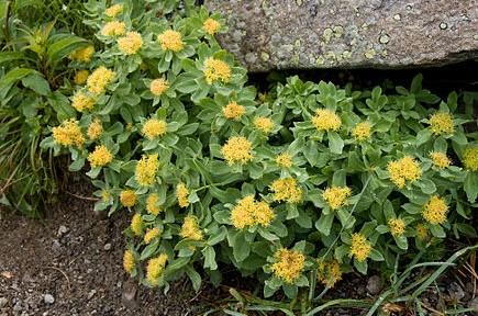 Les adaptogènes ne sont pas des plantes miracles et pourtant !