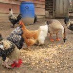 Poulailler-bio-à-la-campagne