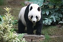 220px-grosser_panda