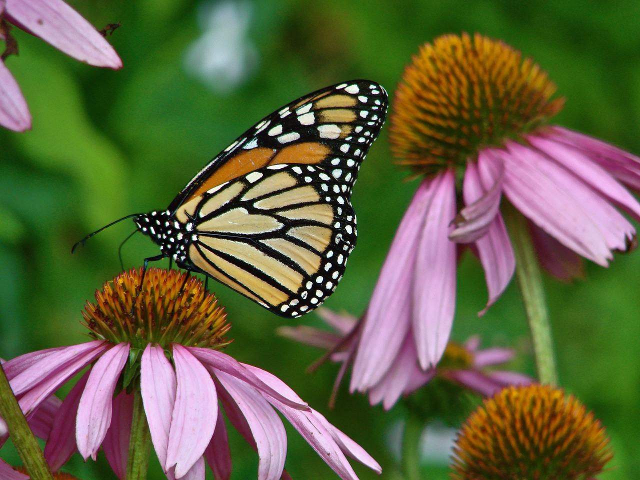 L'Echinacée : la plante des Sioux