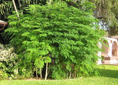 Le Moringa, une plante qui n'a pas fini de nous étonner
